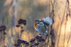 December Wings (Victoria_Land) Tags: winter winterwildlife britishbirds christmasrobin goldenhour earlymorninglight victorialand victoriapalmer photography naturallight nature britishwildlife wildlifeuk