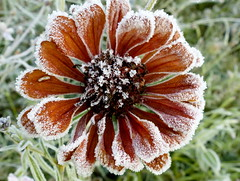 Frozen flower (e) Tags: flower frozen bevroren dying nature vrieskou rijm rijp vorst frost bloem fleur gel winter cold bloemblaadjes tuin jardin red orange bloemhart withering