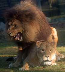 african lion Beekse Bergen JN6A4998 (j.a.kok) Tags: leeuw lion afrikaanseleeuw africanlion pantheraleoleo zoogdier mammal predator afrika africa