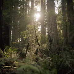 (patrickjoust) Tags: california mamiyac330s sekor80mmf28 kodakportra400 tlr twin lens reflex 120 6x6 medium format film analog mechanical patrick joust patrickjoust northern ca usa us united states north america estados unidos autaut color c41 green forest trees redwoods fern sun