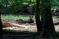 Un bain de soleil pour MM les Sangliers (Joseph Trojani) Tags: sanglier pig boar wildboar gibier animal animaux nature natur fort forest clairire glade bois nikon d7000