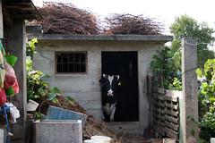 Cow Shed (enjosmith) Tags: croatia korcula thefarma cow shed sticks farm