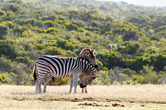 Zebra rubbing their head on his partner's rump (charissadescande) Tags: grass natural safari herd william nature standing look animal plains named wild herbivore way naturalist black burchells quagga white lines eating stripes background travel sky closeup explorer mammal time african south africa national after burchell pattern john subspecies wildlife southern striped outdoors british camera grassland park zebra green wilderness field