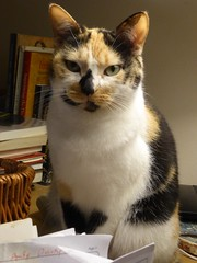 Lucy on my Desk (Philosopher Queen) Tags: lucy chat gate kitty calico cute desk