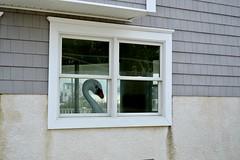 Stop looking at me swan (x0Leeanne) Tags: swan beach shore window