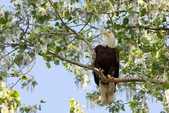 Eagle (Sean McCann (ibycter.com)) Tags: eagles