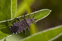Ceraleptus gracilicornis (Jaume Bobet) Tags: macro canon sigma bobet insecto chinche coreidae hemiptera macrolife gracilicornis ceraleptus
