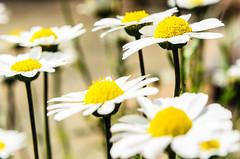 (Damien Cox) Tags: uk plant flower nature garden petals nikon damiencox dcoxphotographycom