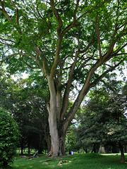 Peradeniya - Enormous Tree (Drriss & Marrionn) Tags: travel trees flora asia srilanka ceylon tropics kandy tropicalplants southasia peradeniya royalbotanicalgarden