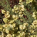 Four-wing Saltbush