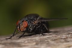 Big Black Fly (tiikka) Tags: macro closeup canon bug fly arthropod diptera 150mm sigma150mmf28macro tiikka