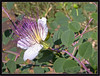 Wildflower. Common Caper (Dora-A) Tags: beautiful blooming bright color colorful country day daylight doraa flourishing flower foliage galilee green holyland israel landscape light mediterranean middleeast mideast nature north northernkingdomofisrael photography picture scene spring view חרמון גליל flinders rose capparis spinosa