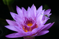 Wonderful Nature (eyriel) Tags: blue nature water bug insect waterlily lily purple dragonfly photocontesttnc13