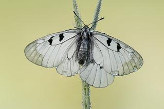 Parnassius mnemosyne (Clouded Apollo, Zwarte apollovlinder)