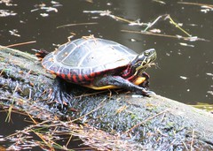 Painted Turtle (dlv1) Tags: water log turtle amphibian pineneedles paintedturtle