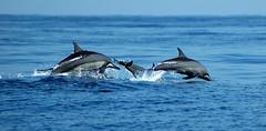 Oman 095 (garethdaviesphotos) Tags: dolphins oman