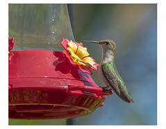 a hungry H-Bird (RBs pics) Tags: bird nature rural canon hummingbird pennsylvania wildlife pa 7d humming canon7d