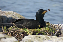 Shag (phalacrocorax aristotelis) (celerycelery) Tags: bird nature animal critter wildlife critters ornithology othercritters
