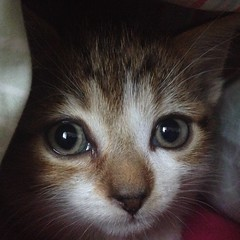 Oh Hai (Sam Tait) Tags: hello white cat hair kitten lol tabby kitty turbo short oh hai