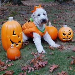 orange crush (Eric.Ray) Tags: panasonic lumix dmc daily dog challenge square crop dpspets orange pumpkins costume animal