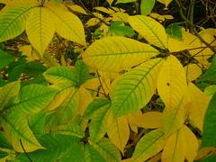 Herbstfärbung (Jörg Paul Kaspari) Tags: autumn fall leaves leaf herbst foliage trier aesculus parviflora herbstfärbung gelbgrün palastgarten aesculusparviflora strauchkastanie laubschmuck