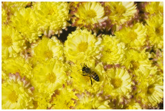 Field of Dreams (The Surveyor) Tags: newmexico flower macro field yellow albuquerque bee mum honey dreams nm