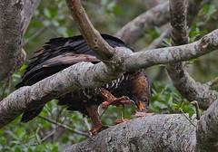African Crowned Eagle (Rainbirder) Tags: kenya africancrownedeagle nairobinationalpark crownedeagle crownedhawkeagle stephanoaetuscoronatus rainbirder