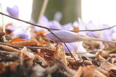Herbstzeitlose (Colchicum autumnale) am Denkmal fr Uwe Jens Lornsen am Paradeplatz; Rendsburg (4) (Chironius) Tags: rendsburg schleswigholstein deutschland germany allemagne alemania germania  szlezwigholsztyn niemcy blte blossom flower fleur flor fiore blten   liliales lilienartige blossoms flowers violett lila purpur