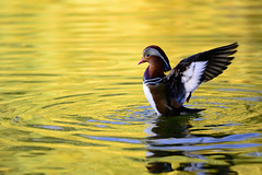 DSC_3615 (Baozhiguo Photograph) Tags: ed duck nikon ii mandarin nikkor vr afs d800 70200mm f28g