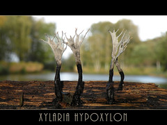 Geweizwam (Loe Giesen) Tags: stagshornfungus xylariahypoxylon geweizwam candlestickfungus
