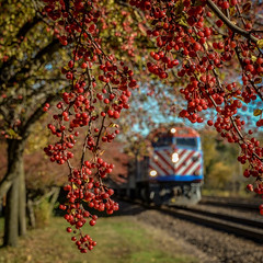 Mile Post 23.65 (Carl's Captures) Tags: autumn tree fall nature oneaday fruit outdoors berries dof bokeh transportation locomotive flickrcentral squarecrop wbez chicagoland crabapple commutertrain shutterbug crapapple flickritis dupagecounty illinoisflickrjournal unionpacificrailroad flickrtoday wheatonillinois theworldthroughmyeyes beautifulcapture enjoyillinois metraunionpacificwestline yourbestphotography theillinoisdirectory theworldthroughphotography chicagoistphotos unionpacificgenevasubdivision nikond5100 lightroom5 tamron182703563diiivcpzd