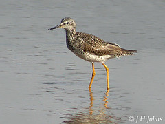 "Lesser Yellowlegs, Hayle, March 2004, J H Johns • <a style=""font-size:0.8em;"" href=""http://www.flickr.com/photos/30837261@N07/10723815533/"" target=""_blank"">View on Flickr</a>"
