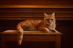 Kitty poser!  [Explored] (Fardo.D) Tags: orange pet animal cat ginger chat piano kitty neko katze stool kot nekochan marmelade