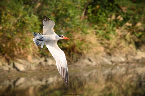 The Caspian tern - Okinawa
