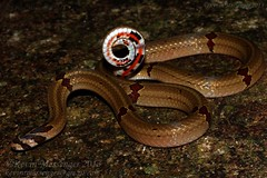 Oligodon ornatus (ornate kukri snake) (Kevin Messenger) Tags: china canon kevin snake wildlife 7d messenger fujian ornate province herpetology kukri wuyishan ornatus 2013 oligodon kevinmessenger