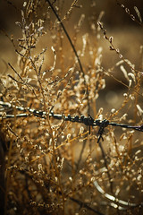 Barbed Garden (Chains of Pace) Tags: oklahoma fence golden weeds bokeh depthoffield barbedwire prairie