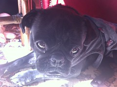 Pug 70 (Nathan_Arrington) Tags: dog pet black puppy small chinese pug breed toydog lapdog dog small toy losze