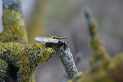 Hormiga alada y lquenes (esta_ahi) Tags: barcelona espaa insectos fauna spain ant lichen hormiga liquen lquenes formiga peneds hymenoptera formicidae alada  torrellesdefoix