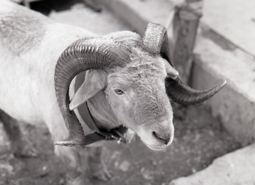 Kabul Afghanistan Nikon FM2 50mm 1.4 sheep-1