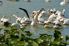 White Pelicans, Lakeland, FL (c. mcgraw) Tags: white pelican fl lakeland