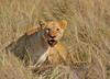 The beeste feast! (Rainbirder) Tags: kenya lion masaimara africanlion maasaimara pantheraleo rainbirder