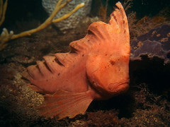 red indian fish (doug.deep) Tags: red fish underwater indian sydney australia scuba diving bareisland
