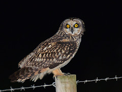 Coruja do nabal // Short-eared owl (jvverde) Tags: corujadonabal shortearedowl coruja ave aves bird birds avesemportugal birdsinportugal avifauna nature natureza asioflammeus wildbird wildlife wild selvagem birding birdwatch aoarlivre pássaros pássaro bir natural oiseau vogel 鸟 鳥 पक्षी птица pájaro طائرپرنده 새 uccello ਪੰਛੀ પક્ષી uccelloaves emliberdade onwild nanatureza lintu طَائِر madár পাখি ფრინველები թռչուններ ܛܝܪܐ பறவை สัตว์ปีก پنچھی پرندہ păsări paukščiai paxaros ptactvo ptaki ptice putni qushlar shimbiraha tsuntsãye uccelli voëls vögel