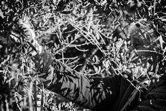 raccolta olive (claudia_perilli) Tags: italy olive campagna olives antiquariato lazio semina trattore olivo vigneto rieti forestale frutteto contadino giardinaggio cassone irrigazione forwarder agricolo rimorchi orticoltura agricoltore montenerosabino coltura stoccaggio mietitrebbie rotopresse arboricoltura falciatrici spandiconcime antiquariatoagricolo fieniazione aratrici erpici mietitrici stoppiatori vendemmiatrici esboscatori segaacatena
