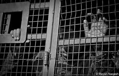 Detention (Rayan Naqash) Tags: blackandwhite bw demo politics police demonstration kashmir srinagar activist detention jammukashmirpolice