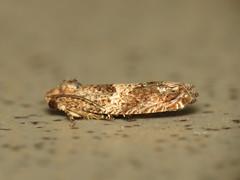 Pending (dhobern) Tags: december australia lepidoptera kingston act 2013 geocode:accuracy=16 geo:lat=353187 geo:lon=1491413