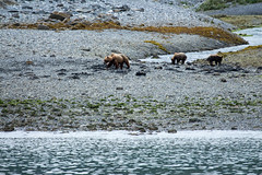 _MG_4226a (markbyzewski) Tags: alaska cub ugly brownbear grizzlybear glacierbaynationalpark