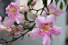 flores¹ (Raphael R. Pais) Tags: flower nature rose flor rosa