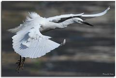 Little Egret (Kennix Lam) Tags: bird canon eos pssaro hong kong 7d  fugl vogel oiseaux pjaro  uccello  fgel  adar  ptk
