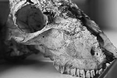 After Life (Colin Keyes) Tags: old eye animal tooth dead skulls skull sheep teeth bones bone socket